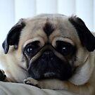 The Posing Pug by Bill Lighterness