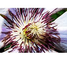 Clematis in Full Bloom - Fine Art Photography Print Photographic Print