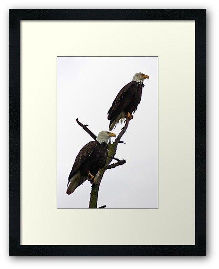 bald eagle pair in the rain by dedmanshootn