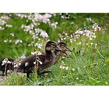 Flower Ducklings Photographic Print