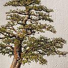 Bonsai tree by PhotosByHealy