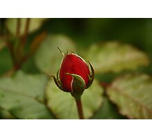 single Red rose over natural green background Photographic Print