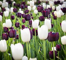 Purple and White Tulips in a Field by W. Lotus