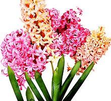 Orange and Pink Hyacinths by Susan Savad
