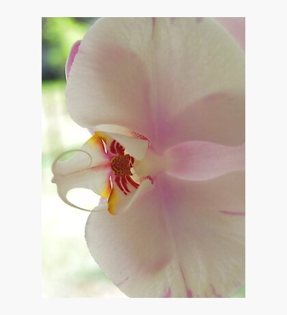 Blushing Bloom Photographic Print