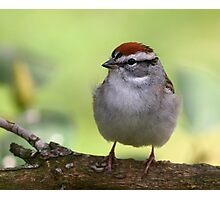 Chipping Sparrow Photographic Print