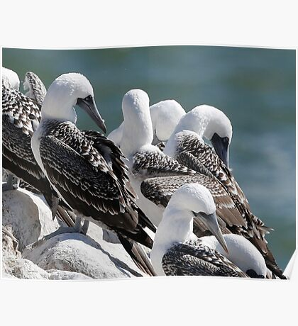 peruvian booby  Poster