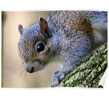 Baby Grey Squirrel Poster
