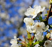 Blossoms in the Sun by Vicki Spindler (VHS Photography)