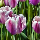 Pink and White tulips by PhotosByHealy