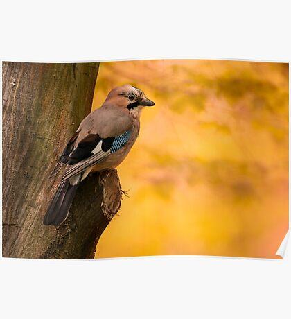 Jay Bird on the tree Poster