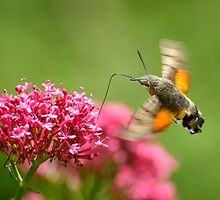 Hummingbird hawk-moth, Castiglioncello del Trinoro, Tuscany, Italy by Andrew Jones