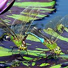 Two Dragonflies on a lily pad by LjMaxx