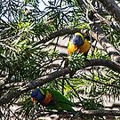 Parrots in tree Leith Park Victoria 20151230 6533   by Fred Mitchell