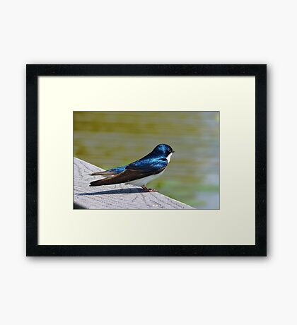 Terrance The Tree Swallow  Framed Print