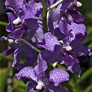 Purple Orchids by phil decocco