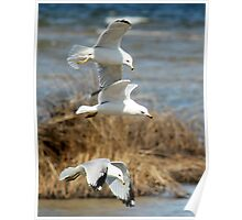 Seagulls - Nature - Photograph Poster