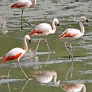 Chilean Flamingos by Graeme  Hyde