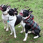 Three Boston Terriers by Ludwig Wagner