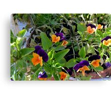 Flowers with orange and purple petals in pots. Canvas Print