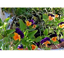 Flowers with orange and purple petals in pots. Photographic Print
