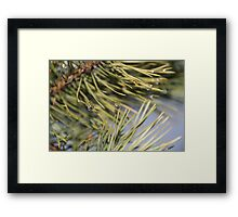 Green pine branch after the rain  Framed Print