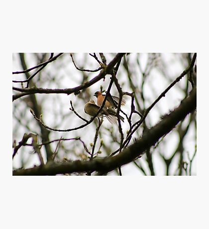 Mating Chaffinches Photographic Print