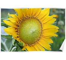 sunflower on green background in Sunny weather Poster