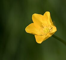 Meadow Buttercup by Neil Bygrave (NATURELENS)