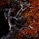 Gnarled Fagus by Claire Walsh