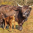 Highland Mother and Calf by David  Rowlatt