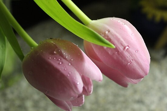 A Pair of Tulips by karina5