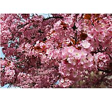 Pink Cherry Blossoms Photographic Print