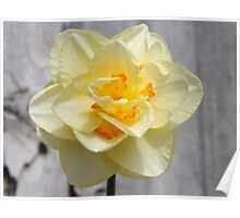 Layered Daffodil  Poster