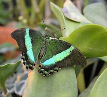 Emerald Swallowtail by Kathleen Brant