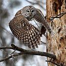 Barred Owl On Point by Gary Fairhead