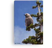 Clark's Nutcracker in a Fir Tree Canvas Print