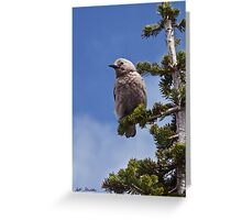Clark's Nutcracker in a Fir Tree Greeting Card