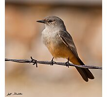 Say's Phoebe on a Barbed Wire Photographic Print