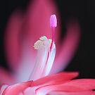 pink Bloom macro by RosiLorz