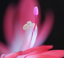 pink Bloom macro by RosiLorz