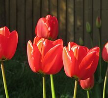 Tulips by Gill Langridge