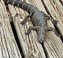 Baby Alligator by Bine