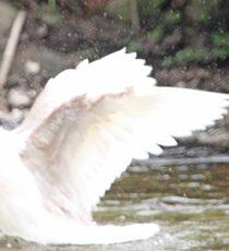 White Female Duck Sticker