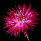 red and white cactus dahlia by eddiej