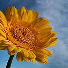 summertime yellow gerbera and blue skys by eddiej