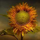 Sunflower  by eddiej