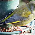 A Green Finch visiting our Garden. by Malcolm Chant
