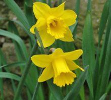 Garden Daffodils Sticker