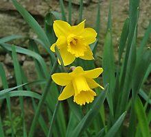Garden Daffodils by lezvee